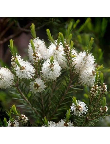 Tea tree (Arbre à thé) - Huile essentielle de Melaleuca alternifolia 10 ml - Pranarôm