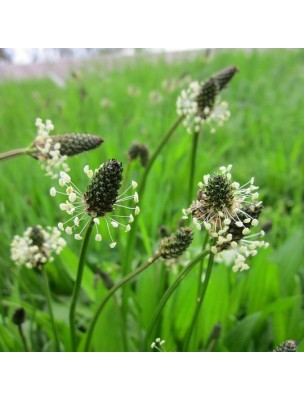 Plantain lanceolé Bio - Voies respiratoires Teinture-mère 50 ml - Herbiolys