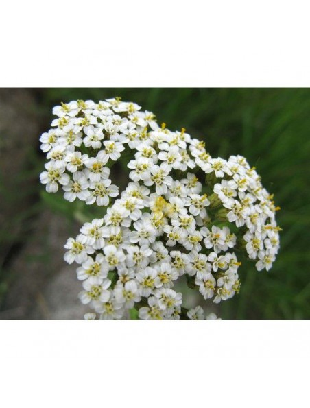 Achillée millefeuille Bio - Cycle féminin Teinture-mère Achillea millefolium 50 ml - Ladrôme