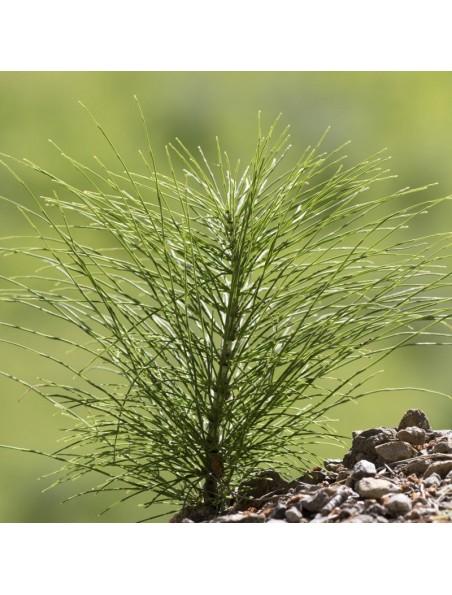 Prêle des Champs Bio - Articulations & Dépuratif Teinture-mère Equisetum arvense 100 ml - Ladrôme