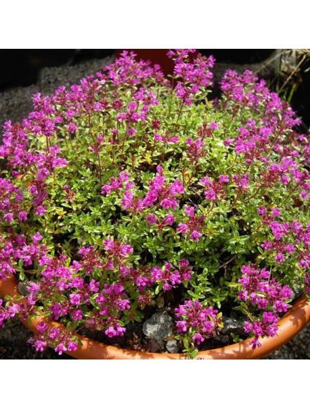 Serpolet Bio - Digestion Teinture-mère Thymus serpyllum 50 ml - Herbiolys