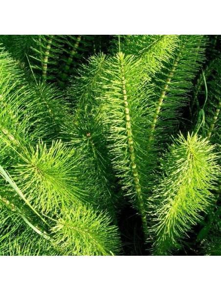 Prêle Bio - Partie aérienne en poudre 100g - Equisetum arvense L.