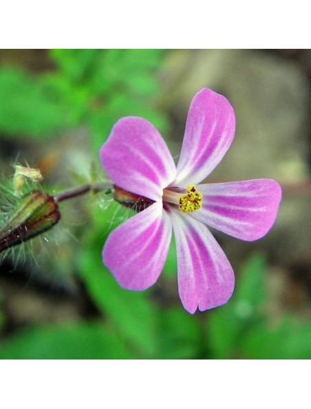 Géranium Herbe à Robert Bio - Antiseptique Teinture-mère Geranium robertianum 50 ml - Herbiolys