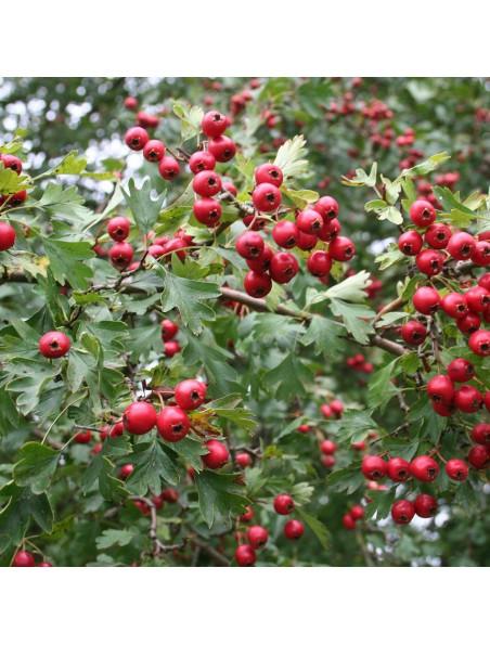 Aubépine Bio - Fruit (Cenelle) 100g - Crataegus monogyna Jacq.