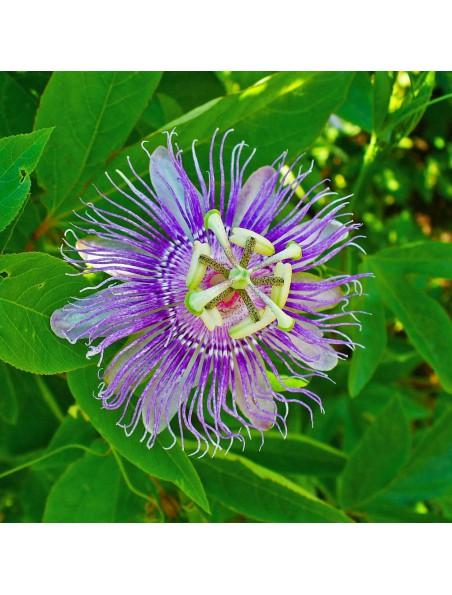 Passiflore Bio - Sommeil & Relaxation Teinture-mère Passiflora incarnata 100 ml - Ladrôme