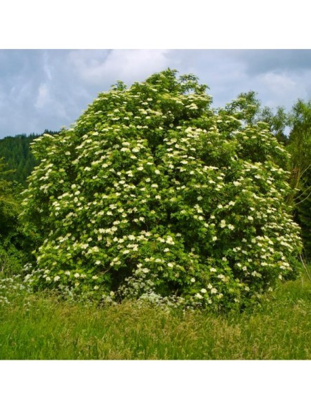Sureau noir Bio - Drainage & Articulations Teinture-mère Sambucus nigra 50 ml - Herbiolys