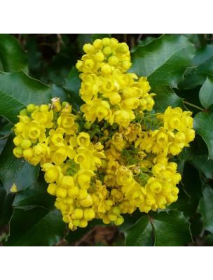 https://www.louis-herboristerie.com/15309-home_default/mahonie-houx-bio-troubles-cutanes-teinture-mere-mahonia-aquifolium-50-ml-herbiolys.jpg