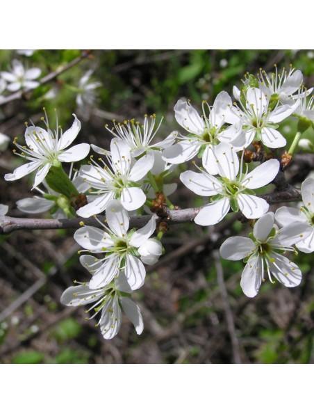 Prunellier Bio - Transit & Vitamine C Teinture-mère Prunus spinosa 50 ml - Herbiolys