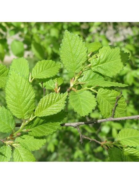 Orme champêtre Bio - Peau & Purification - Macérât de bourgeon 50 ml - Herbiolys