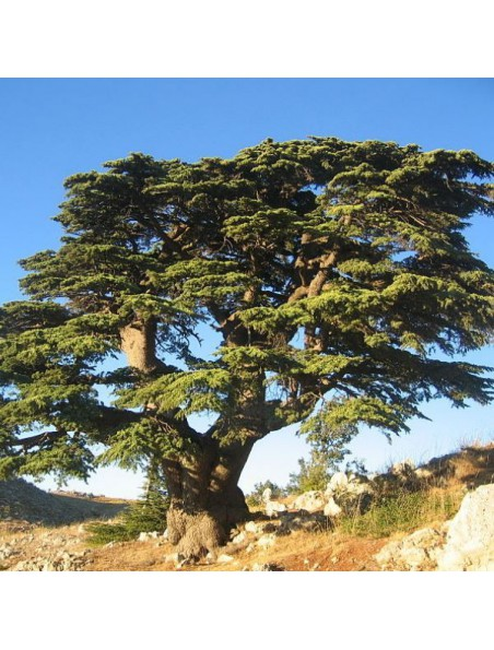 Cèdre du Liban Macérât de bourgeon 1DH Bio - Peau 50 ml - Herbiolys