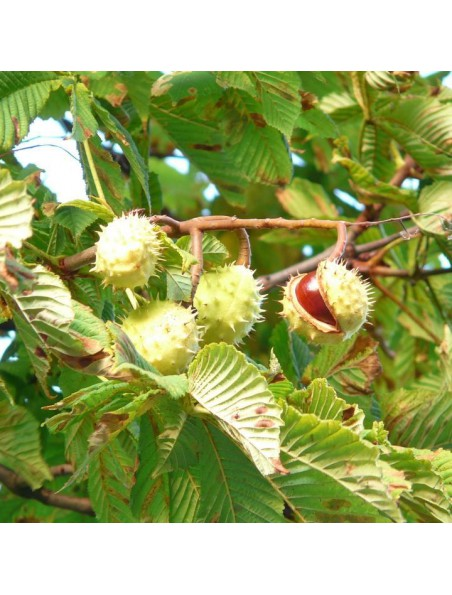 Châtaignier Macérât de bourgeon Bio - Circulation 50 ml - Herbiolys
