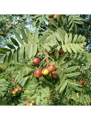 https://www.louis-herboristerie.com/16356-home_default/sorbier-domestique-macerat-de-bourgeon-bio-circulation-acouphenes-50-ml-herbiolys.jpg