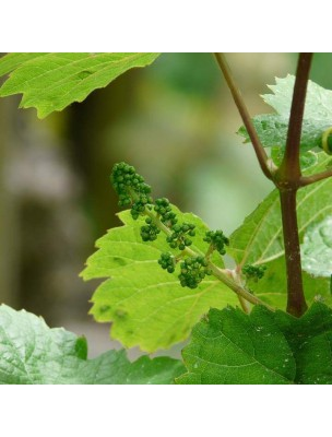 Vigne Macérât de bourgeon 1DH Bio - Articulation & Circulation 50 ml - Herbiolys