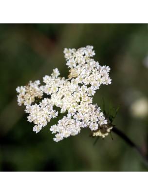 https://www.louis-herboristerie.com/16537-home_default/carvi-bio-graines-100g-tisane-de-carum-carvi-l.jpg