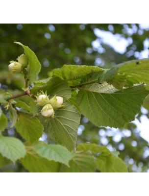https://www.louis-herboristerie.com/16720-home_default/noisetier-bourgeon-bio-foie-poumons-15-ml-herbalgem.jpg
