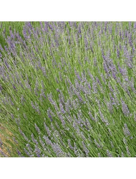 Lavande Aspic Bio - Huile essentielle Lavandula latifolia 5 ml - Primavera