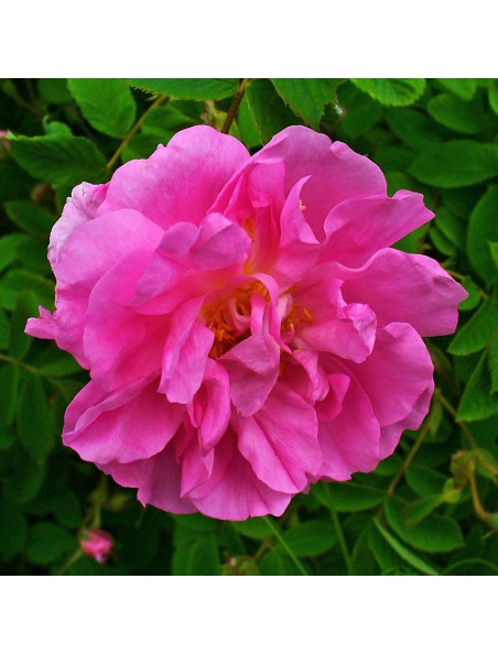 Rose de Turquie Bio - Huile essentielle 10% Rosa damascena 5 ml - Primavera