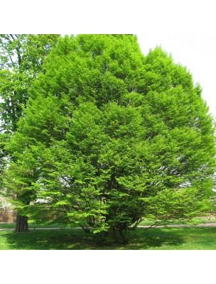 Charme Macérât de bourgeon Bio - Respiration 50 ml - Herbiolys