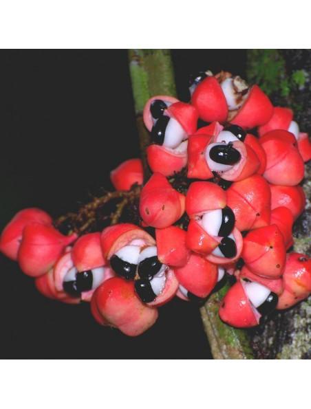 Macérat aqueux de Guarana Bio - Energie & Vitalité 250 ml - Herboristerie Cailleau