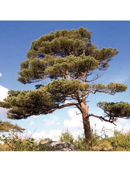 Pine Pin sylvestre n°24 - Courage et espoir Bio aux fleurs de Bach 15 ml - Biofloral