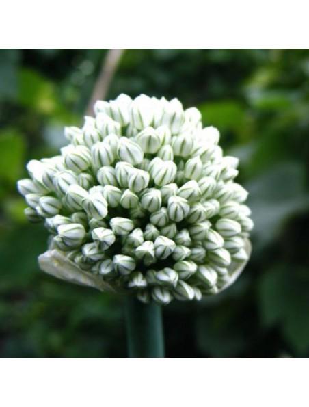 Ail poudre Bio - Bulbe 100g - Tisane d'Allium sativum L.