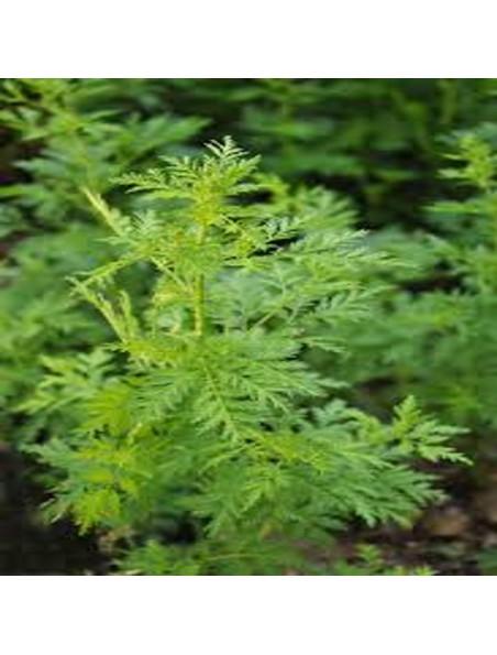 Absinthe petite - Sommité coupée 100g - Tisane d'Artemisia pontica