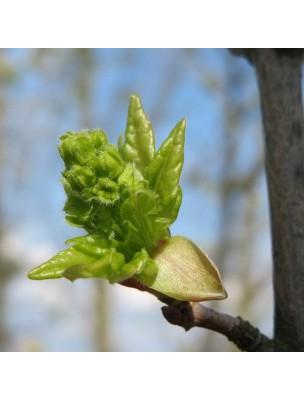 https://www.louis-herboristerie.com/18888-home_default/erable-macerat-de-bourgeons-bio-acer-campestris-15-ml-alphagem.jpg