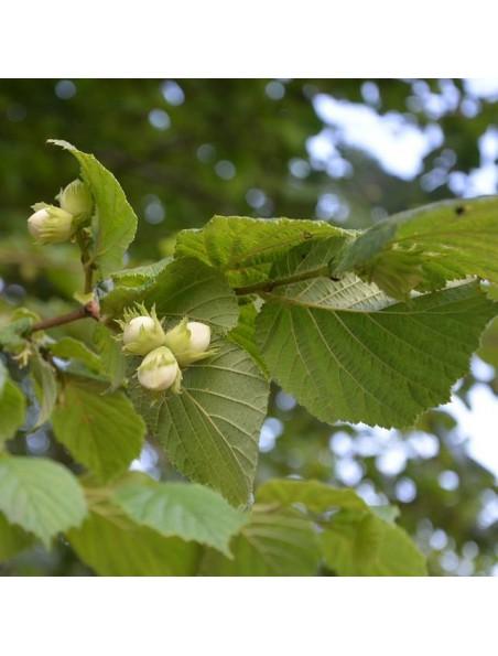 Noisetier Macérat de bourgeons Bio - Corylus avellana 50 ml - Alphagem