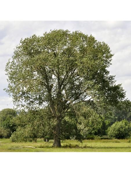 Peuplier Macérat de bourgeons Bio - Populus nigra 50 ml - Alphagem