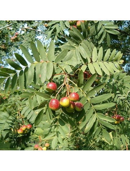 Sorbier Macérat de bourgeons Bio - Sorbus Aucuparia 50 ml - Alphagem
