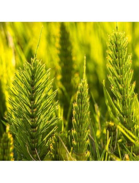 Prêle Macérat de jeunes pousses Bio - Equisetum arvense 15 ml - Alphagem