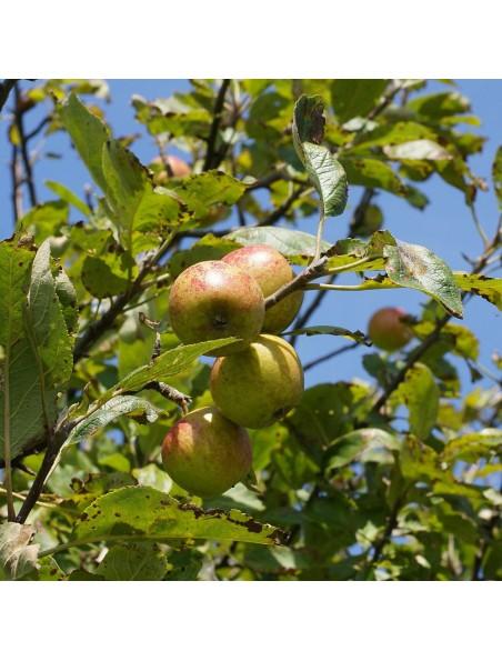 Pommier Macérat de bourgeons Bio - Malus sylvestris 50 ml - Alphagem