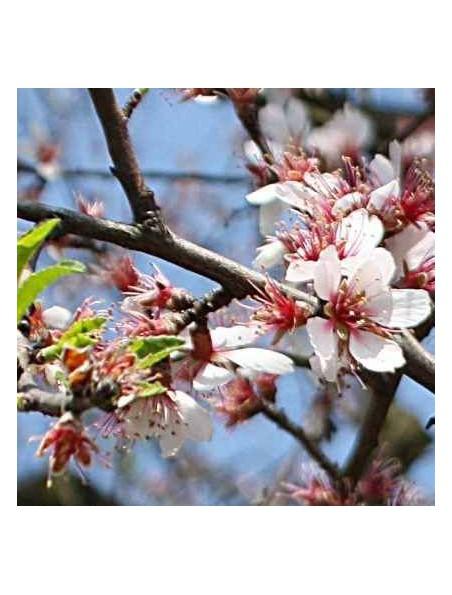 Amandier Macérat de bourgeons Bio - Prunus dulcis 50 ml - Alphagem