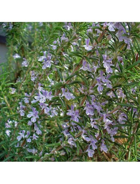 Romarin Macérat de jeunes pousses Bio - Rosmarinus officinalis 15 ml - Alphagem