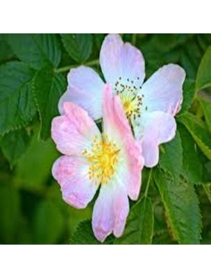 Rosier sauvage Macérat de bourgeons Bio - Rosa canina 15 ml - Alphagem