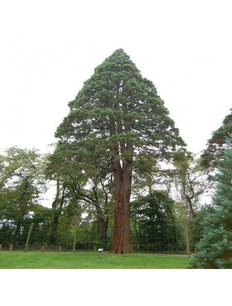 Sequoia Macérat de jeunes pousses Bio - Sequoiadendron giganteum 15 ml - Alphagem