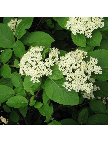 Viorne Macérat de bourgeons Bio - Viburnum lantana 15 ml - Alphagem