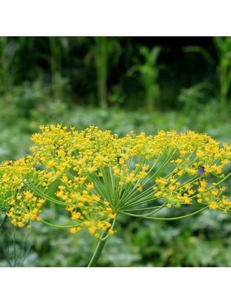 Aneth Bio - Feuilles 100g - Tisane d'Anethum graveolens L.