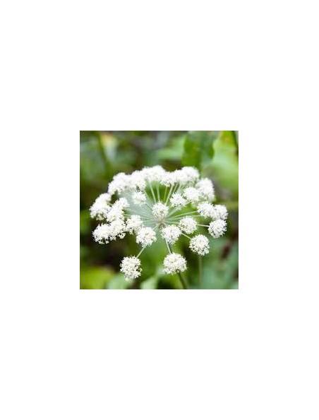 Angélique Bio - Fruit poudre 100g - Tisane d'Angelica archangelica L.