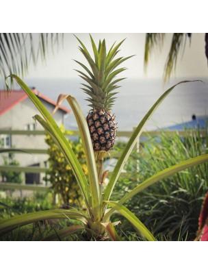 Ananas - Tige Poudre 100g - Ananassa sativa
