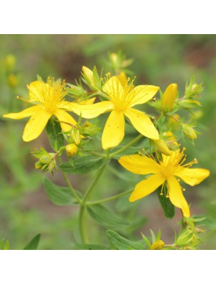 Millepertuis - Partie arienne poudre 100g - Hypericum perforatum L.