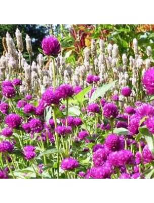 Amarantine - Fleur 100g - Gomphrena globosa L.