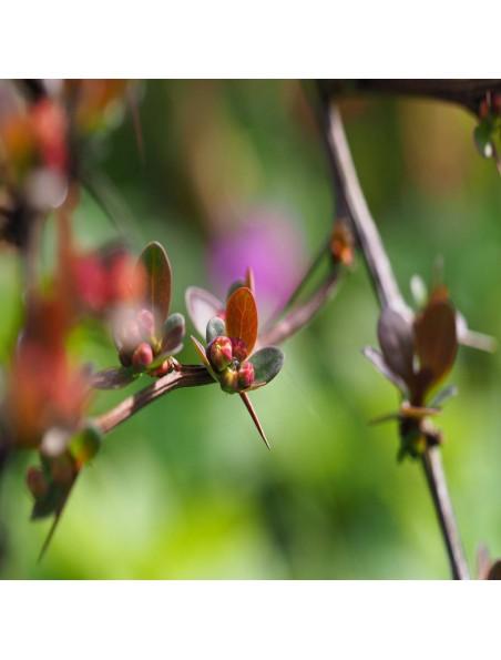 Epine vinette - Dépurative & Tonique Teinture-mère Chamaemelum nobile 50 ml - Herbiolys