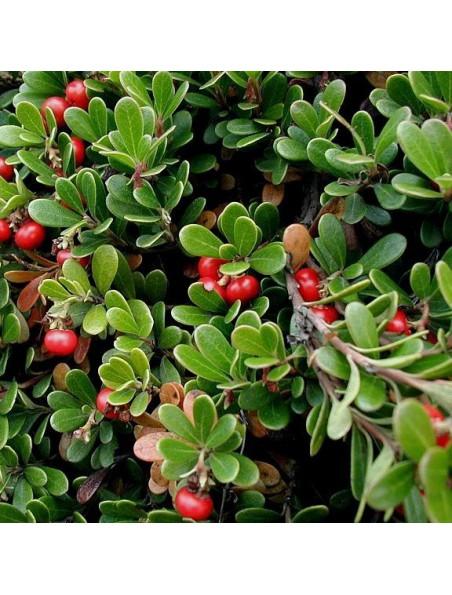 Busserole Bio - Feuilles entières 100g - Tisane Arctostaphylos uva-ursi (L.) S.