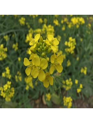 Moutarde noire - Graine 100g - Tisane de Brassica nigra