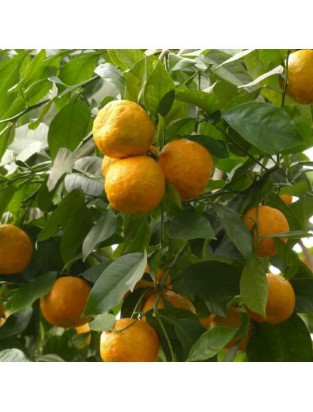 Oranger bigaradier Bio - Feuille entière 100g - Tisane de Citrus aurantium