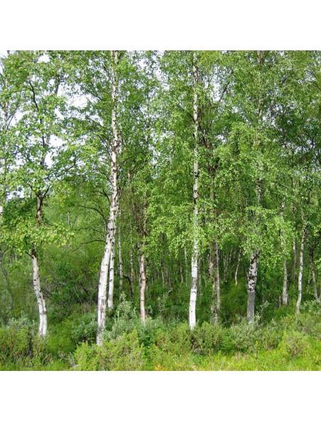 Bouleau verruqueux sève - Diurétique & Peau Teinture-mère Betula verrucosa 50 ml - Herbiolys