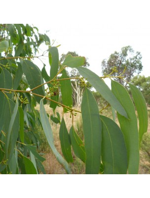 Eucalyptus radié Bio - Huile essentielle d'Eucalyptus radiata Sieber ex DC. 10 ml - Purasana