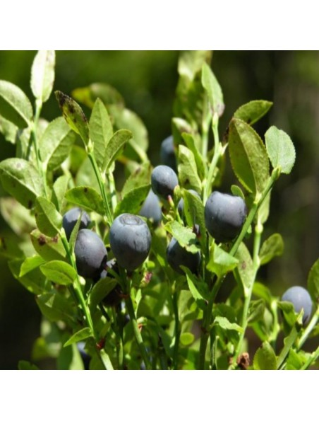 Myrtille Bio - Fruit poudre 100g - Tisane de Vaccinium myrtillus L.