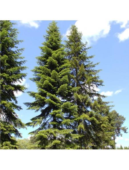 Sapin de Sibérie - Huile essentielle d'Abies sibirica 10 ml - Herbes et Traditions